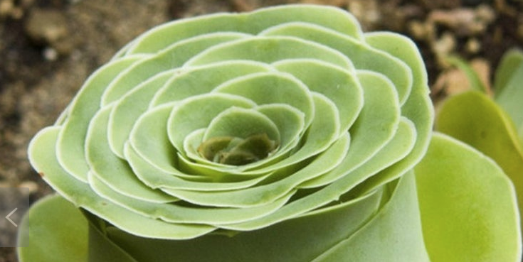 Rose Succulents Are Even Better Than Traditional Roses