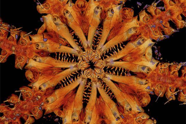 ophiojura teeth
