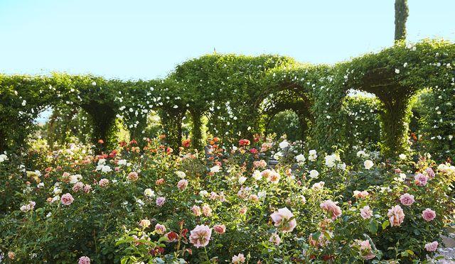 oprah winfrey rose garden