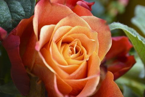 Orange Coloured Rose Close Up