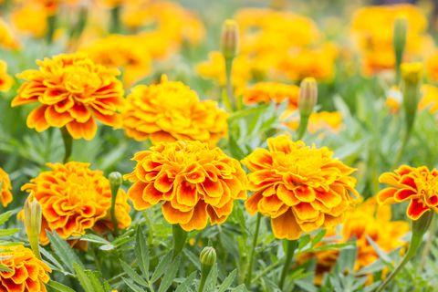 orange flowers french marigolds