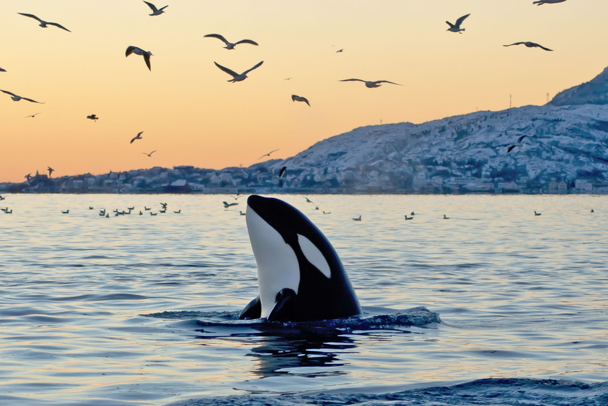 Killer whales are the largest type of dolphin.