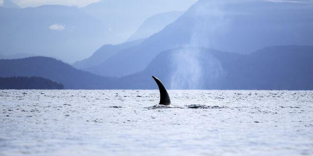 video animali orche