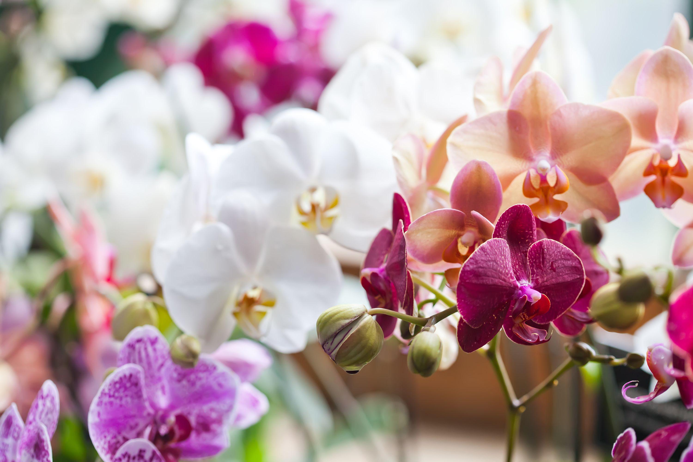 Un'orchidea non è un'orchidea, ma un fiore dai mille significati che assomiglia a un patto d'amore