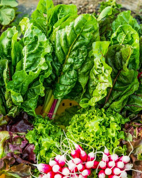 Organic Produce, Organic Farm Harvest Rainbow Chard, Swiss Chard, Radish, Radishes, Butterhead Lettuce, Red Leaf Lettuce, Fresh Vegetables, Farm Fresh, Farm to Table
