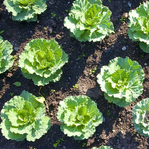 ornamental kale grown in rows