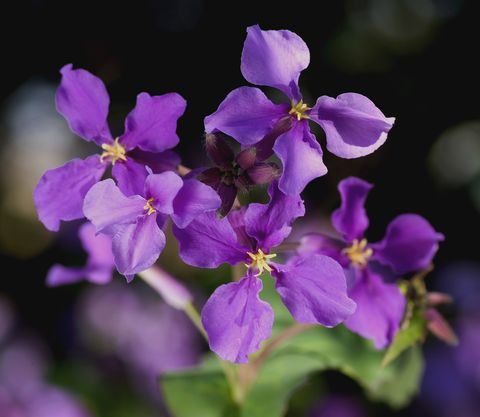 this purple plant has a secret that could replace synthetic engine oil