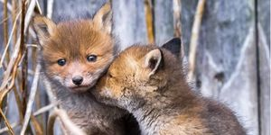 Ossi Saarinen - fox cubs
