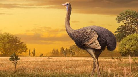 Vertebrate, Bird, Flightless bird, Ratite, Terrestrial animal, Wildlife, Grassland, Ostrich, Beak, Crane-like bird,