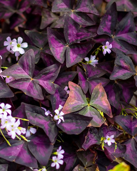 oxalis triangularis best hanging plants