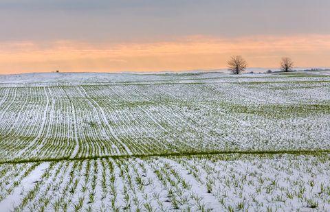 Озимые поля в снегу. Зима. Пшеница.
