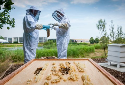 beekeepers tend to the bees responsible for rolls royce honey