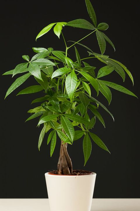 Pachira Aquatica Money Tree