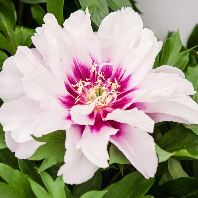 primrose hall peonies awarded the prestigious rhs award of garden merit for 39 peonies