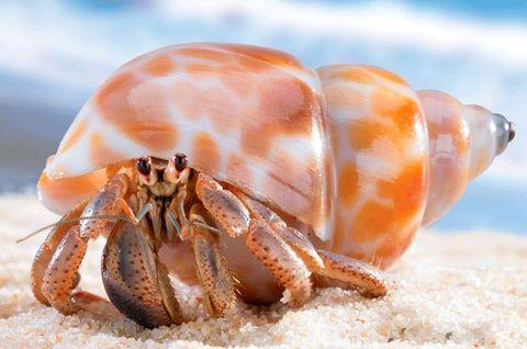 Invertebrate, Hermit crab, Decapoda, Organism, Crustacean, Crab, Conch, Macro photography, Seafood, Arthropod,
