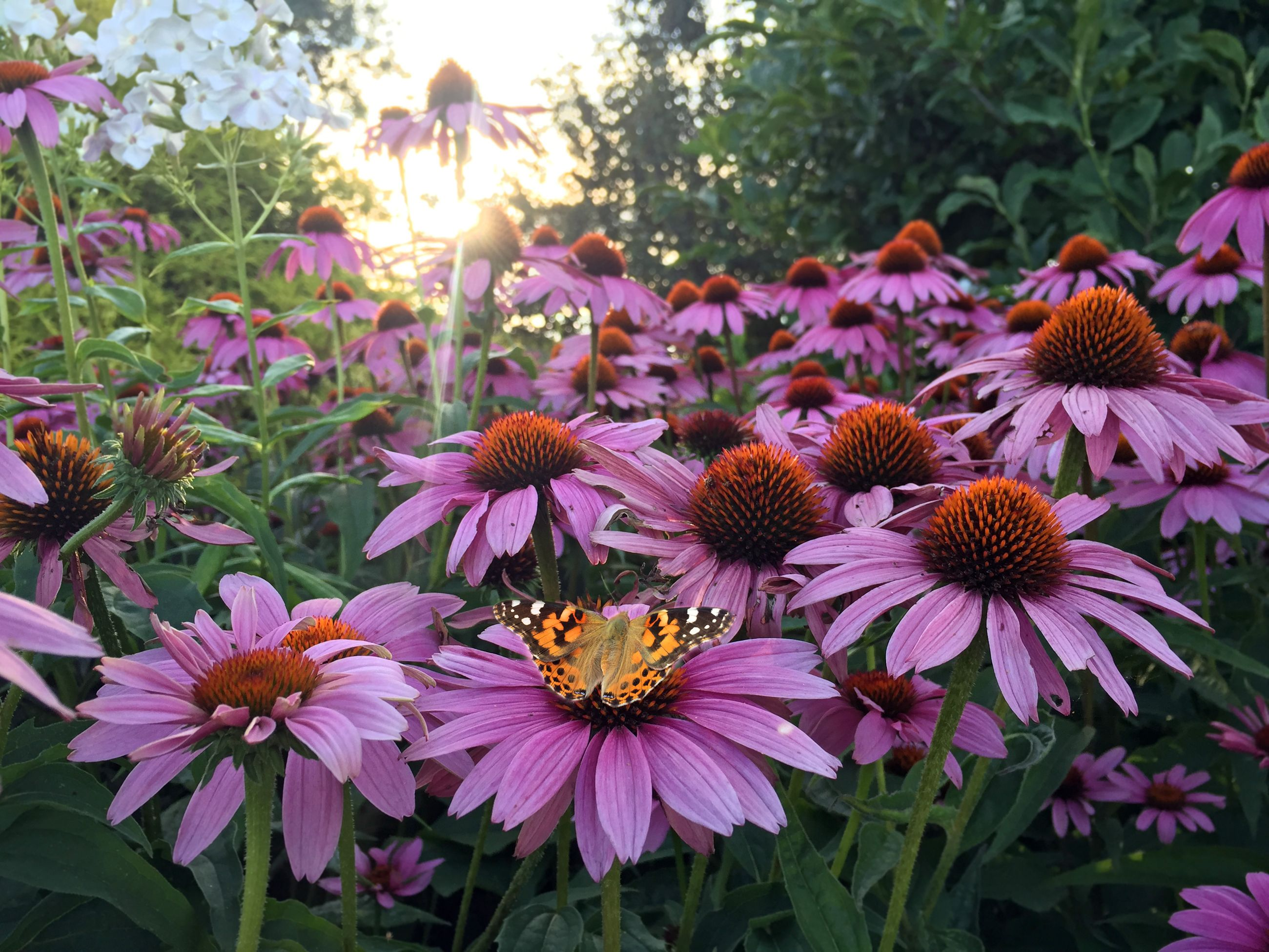 10 Best Full Sun Perennials Plants That Add Color To Your Garden