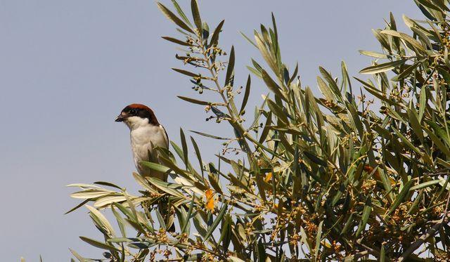 pájaro en un olivar