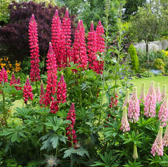 pale and bright pink lupins in english country garden in early summer, surrey, england