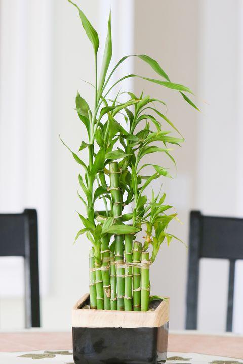 Piante da tenere in casa: la palma di bambù aiuta a respirare meglio