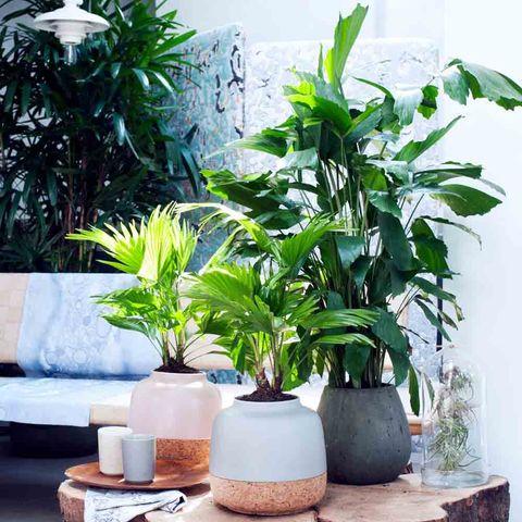 Palmplant, tropisch, exotisch
