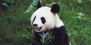 panda-300x236.jpg