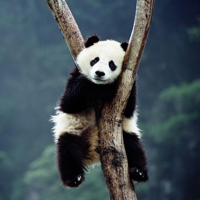 Panda cub (Ailuropoda melanoieca) sleeping in tree,  Wolong Valley, Si