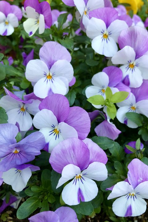 pansies in the flower bed