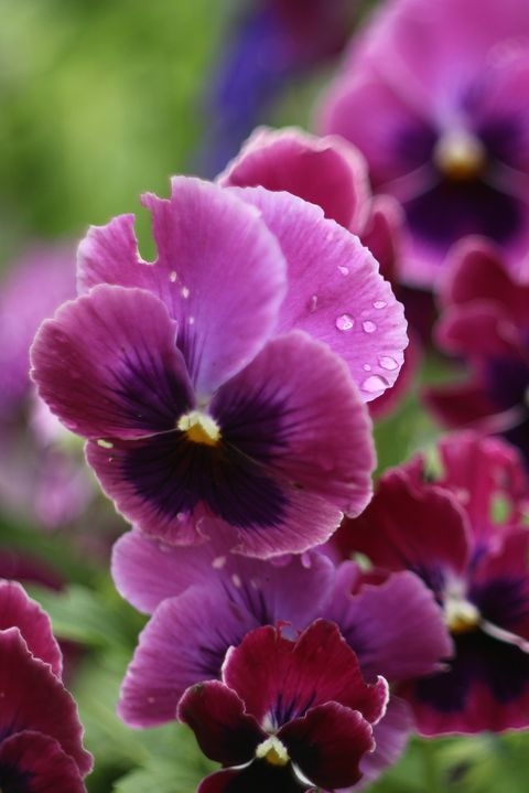 Pansies Blooming In Garden