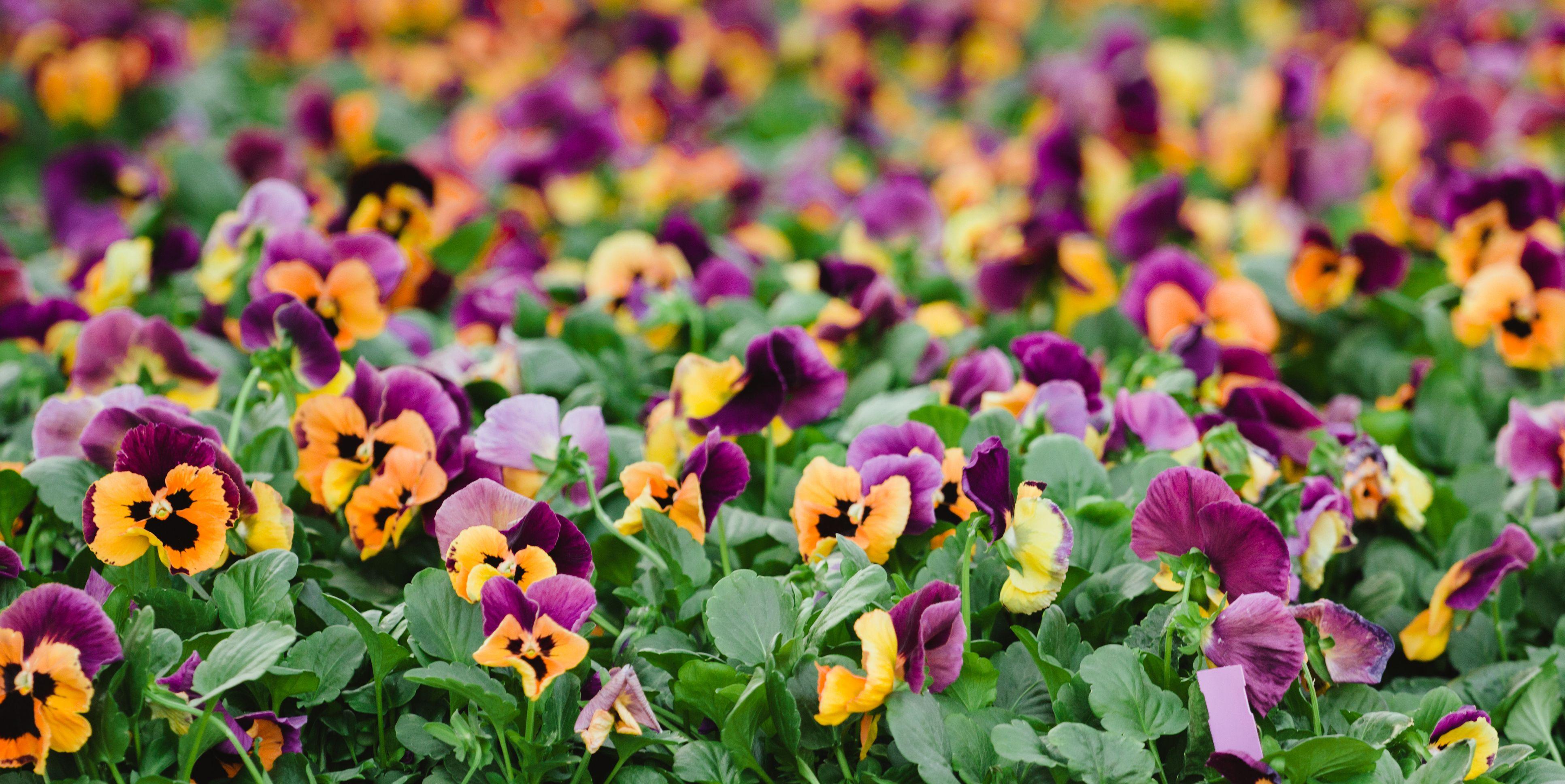 Pansies flower in a plant nursery