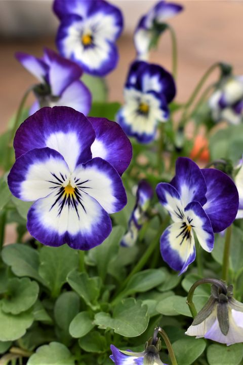 a bunch of purple and white pansy flowers