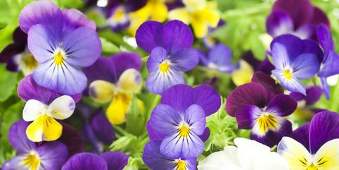 How to grow pansy flowers when and where to plant pansies pansy flowers mightylinksfo