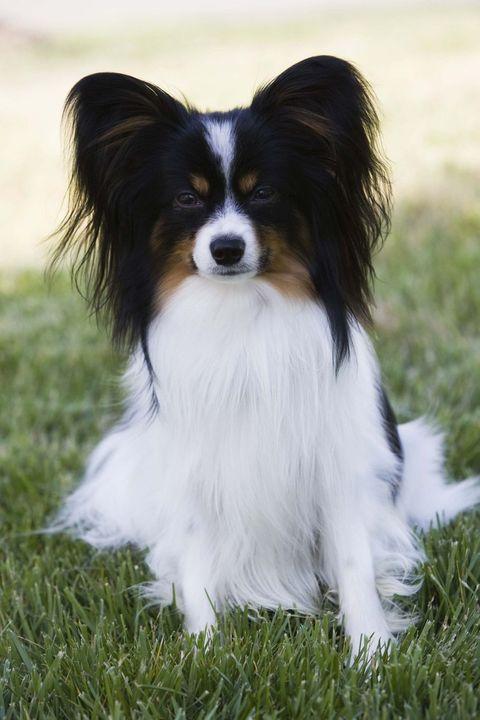 専門家が調査した賢い犬種パピヨン