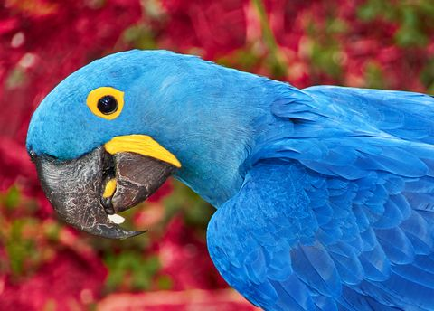 Parrot blue Spix's macaw close up sitting on the land