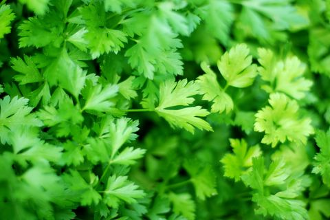 Parsley - How to Grow Herbs Indoors