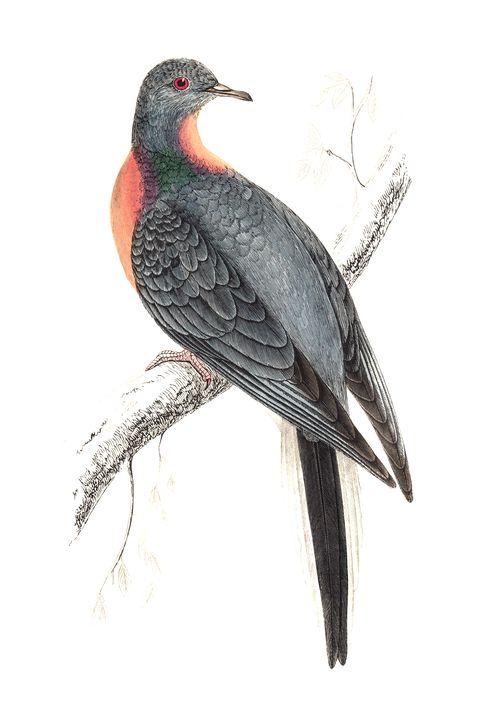 Passenger Pigeon - Hand Coloured Engraving