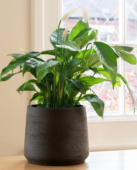 peace lily living room plants