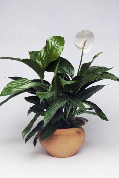 peace lily, white sails or spathe flower, araceae
