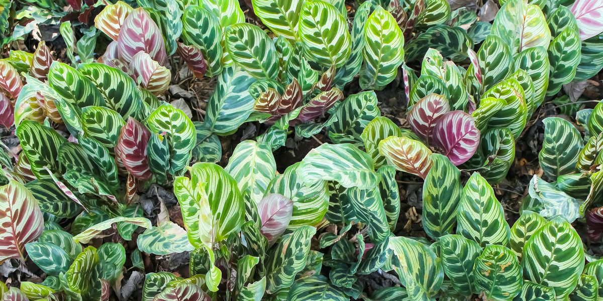 How to Care for Calathea, the Peacock Plant