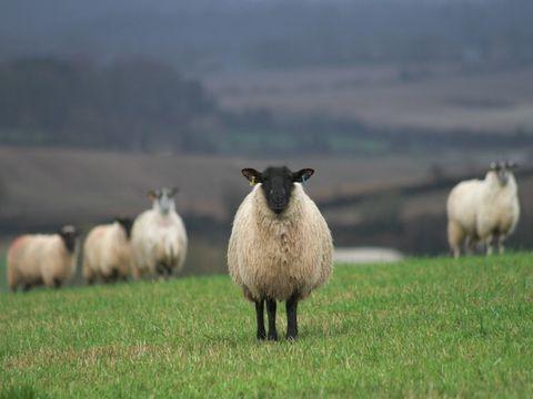Natural environment, Sheep, Green, Sheep, Grassland, Pasture, Plain, Atmospheric phenomenon, Terrestrial animal, Grazing,