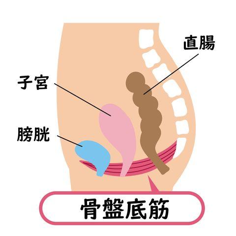 pelvic floor muscle diagram an illustration