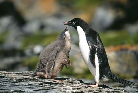 Adelie Penguin, Pygoscelis adeliae, chick begging for food from parent, Antarctic Peninsula
