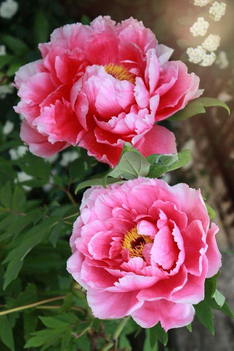Peonía - significados de flores