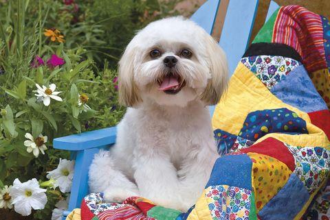 perrito blanco de raza pequeña