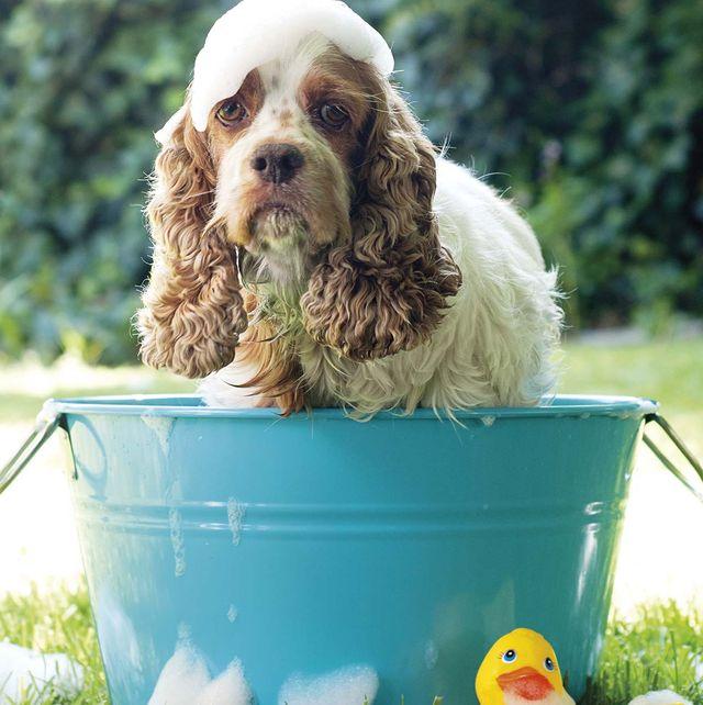 mascotas bañar a los perros