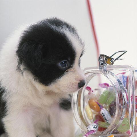 cachorro de perro con bote de caramelos