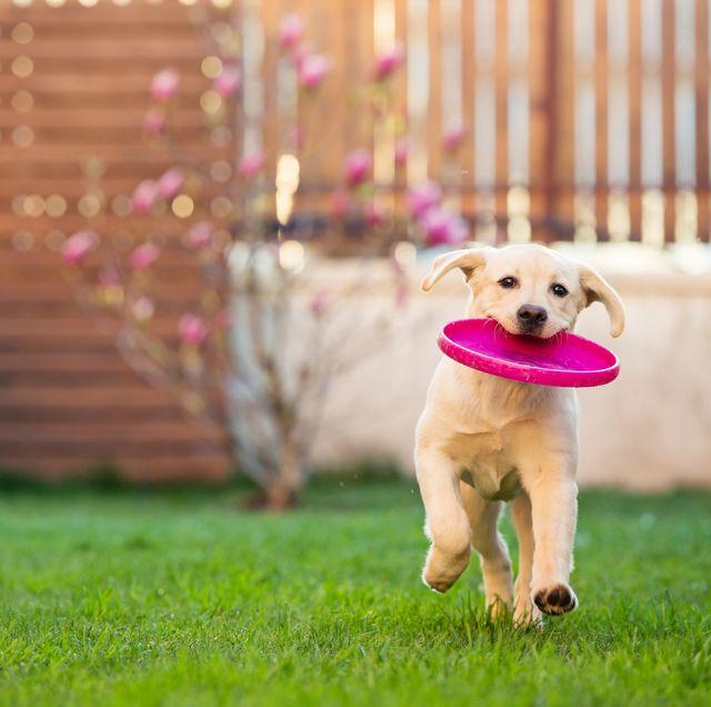 perro jugando con un disco en el jardín