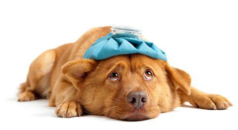 perro con dolor de cabeza