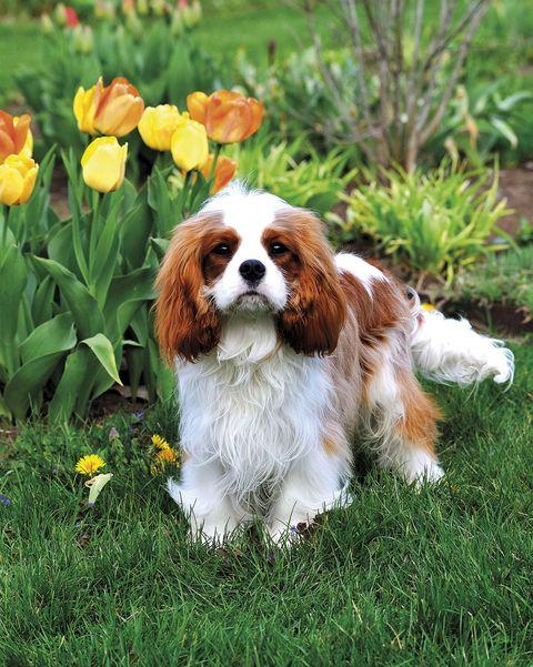 perro cocker spaniel en el jardín