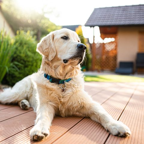 perro golden en el jardín
