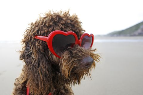 Dog, Canidae, Dog breed, Sporting Group, Carnivore, Terrier, Spanish water dog, Miniature schnauzer, Briard,